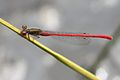 Small Red Damselfly (5985515858).jpg