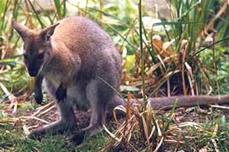 Macropodiformes - Red-necked wallaby