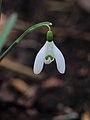 Sneeuwklokje (Galanthus nivalis) 05.JPG