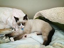 Snowshoe Cat Wikipedia
