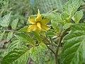 Solanum lycopersicum květ2.JPG