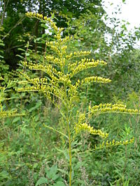 Canadian Goldenrod (Solidago canadensis)