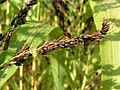Sorghum bicolor02.jpg