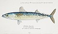 Southern Pacific fishes illustrations by F.E. Clarke 42.jpg