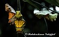 Southern birdwing pupa 2011 08 27 9999 43 Balakrishnan Valappil (6086017084).jpg