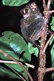 Spectral Tarsier Tarsius tarsier (7911481364).jpg