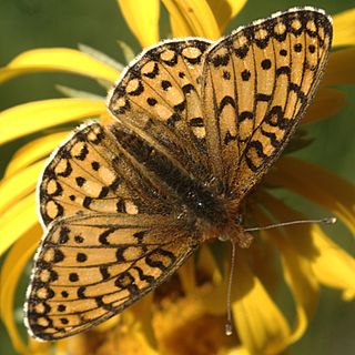 <i>Speyeria mormonia</i> species of butterfly