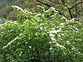 Spiraea chamaedryfolia var. pilosa 4.JPG