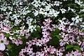 Spring-pink-white-tree - West Virginia - ForestWander.jpg