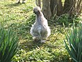 Spring Chicken - geograph.org.uk - 1211059.jpg