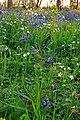Spring Flora in Garston Wood - geograph.org.uk - 408725.jpg