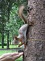 Squirrel in a park at Sokol.jpg