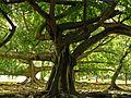 Sri Lanka - 038 - Kandy Botanical Garden (1756429247).jpg