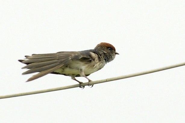 St Swallow DSC0359