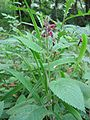 Stachys sylvatica habitus.jpeg