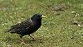 Starling (13197437055).jpg