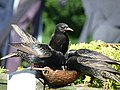 Starlings (4951518823).jpg