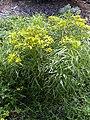 Starr-040318-0050-Bidens micrantha subsp micrantha-flowering habit-Maui Nui Botanical Garden-Maui (24072773223).jpg