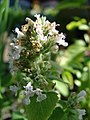 Starr-080103-1290-Nepeta cataria-flowers-Lowes Garden Center Kahului-Maui (24272522773).jpg