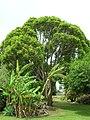 Starr-080429-8895-Cinnamomum camphora-tall tree in yard-Makawao-Maui (24539841709).jpg
