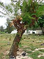 Starr-080607-7236-Cycas circinalis-habit-Medical clinic Sand Island-Midway Atoll (24548161749).jpg