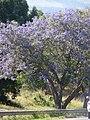Starr-090513-7528-Jacaranda mimosifolia-flowering habit-Haleakala Hwy Kula-Maui (24327818293).jpg