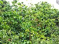 Starr-090617-0890-Sandoricum koetjape-habit-Ulumalu Haiku-Maui (24938671736).jpg