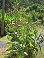 Starr-090623-1726-Nicotiana tabacum-flowering habit-Hana-Maui (24849248632).jpg