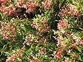 Starr-090818-4474-Quisqualis indica-flowers-Kihei-Maui (24345664303).jpg