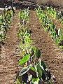 Starr-091020-8373-Colocasia esculenta-horticulture varieties-Kula Experiment Station-Maui (24618833989).jpg
