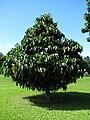 Starr-091104-0884-Garcinia xanthochymus-habit-Kahanu Gardens NTBG Kaeleku Hana-Maui (24357177784).jpg