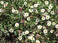 Starr-100603-6872-Erigeron karvinskianus-flowers-Polipoli-Maui (24413001373).jpg