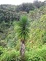 Starr-110330-3715-Yucca aloifolia-habit-Garden of Eden Keanae-Maui (24453811803).jpg