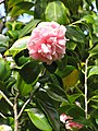 Starr-110331-4545-Camellia japonica-flowers and leaves-Shibuya Farm Kula-Maui (24988569211).jpg