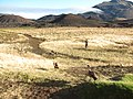 Starr-110811-8012-Plantago lanceolata-habitat with Raina recording nene-Kapalaoa Cabin HNP-Maui (25103185955).jpg