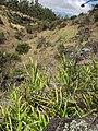 Starr-110920-9139-Pteris cretica-habit-Waiale Gulch-Maui (24482973624).jpg