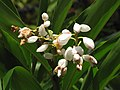 Starr-120522-6162-Alpinia zerumbet-flowers-Iao Tropical Gardens of Maui-Maui (25025002312).jpg