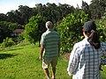 Starr-130605-2246-Citrus sinensis-Navel orange grove-Ehu Rd Piiholo-Maui (25093179322).jpg