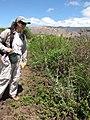 Starr-130702-5446-Lactuca sativa-habit with Kim-Kealia Pond-Maui (24591866133).jpg