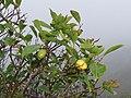Starr-170727-0522-Psidium cattleianum-yellow fruit form-Makamakaole-Maui - Flickr - Starr Environmental.jpg