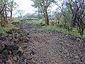 Starr 020422-0104 Hibiscus brackenridgei subsp. brackenridgei.jpg