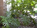 Starr 031108-0220 Philodendron bipinnatifidum.jpg