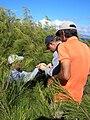 Starr 041028-0166 Casuarina equisetifolia.jpg
