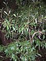 Starr 041221-1821 Acacia melanoxylon.jpg