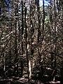 Starr 050831-4263 Cupressus macrocarpa.jpg