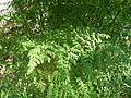 Starr 060921-9049 Moringa oleifera.jpg