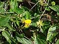 Starr 070123-3607 Lantana montevidensis.jpg