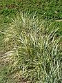 Starr 070207-4266 Liriope spicata.jpg
