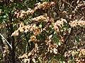 Starr 070321-5967 Flemingia strobilifera.jpg