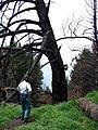 Starr 070908-9185 Pinus sp..jpg